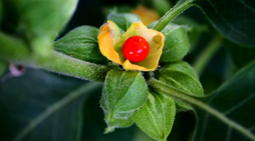 Ashwagandha Bio Poudre | Anti stress - Où acheter - Illimité
